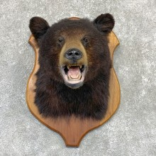 Black Bear Shoulder Mount For Sale #22322 @ The Taxidermy Store