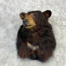 Black Bear Shoulder Mount For Sale #23092 @ The Taxidermy Store