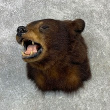 Black Bear Shoulder Mount For Sale #23093 @ The Taxidermy Store