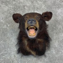 Black Bear Shoulder Mount For Sale #23143 @ The Taxidermy Store