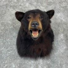 Black Bear Shoulder Mount For Sale #23145 @ The Taxidermy Store