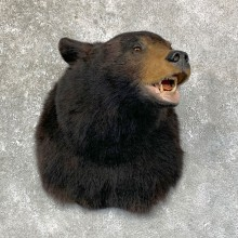 Black Bear Shoulder Mount For Sale #23876 @ The Taxidermy Store