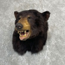 Black Bear Shoulder Mount For Sale #24154 @ The Taxidermy Store