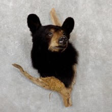 Black Bear Shoulder Taxidermy Mount For Sale #19290 @ The Taxidermy Store