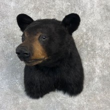 Black Bear Shoulder Taxidermy Mount For Sale #20366 @ The Taxidermy Store