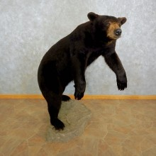 Black Bear Life-Size Mount For Sale #17032 @ The Taxidermy Store