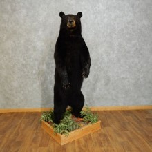 Black Bear Life-Size Mount For Sale #17283 @ The Taxidermy Store