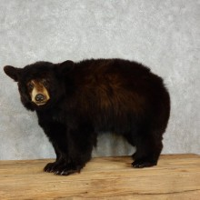 Black Bear Life-Size Mount For Sale #17477 @ The Taxidermy Store