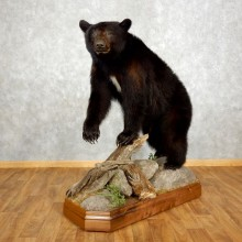 Black Bear Life-Size Mount For Sale #17504 @ The Taxidermy Store