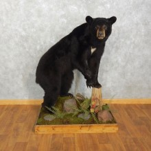 Black Bear Life-Size Mount For Sale #17538 @ The Taxidermy Store