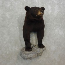 Black Bear Half-Life-Size Taxidermy Mount #17596 For Sale @ The Taxidermy Store