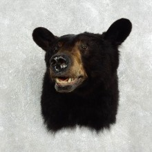 Black Bear Mount For Sale #17597 @ The Taxidermy Store