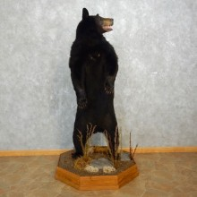 Black Bear Life-Size Mount For Sale #17709 @ The Taxidermy Store