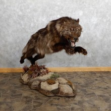 Black Colored Alaskan Grey Wolf Mount For Sale #19559 @ The Taxidermy Store