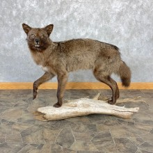 Black Coyote Life-Size Mount #23224 For Sale @ The Taxidermy Store