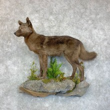 Black Coyote Life-Size Taxidermy Mount For Sale