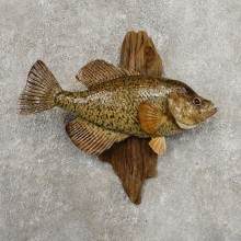 Black Crappie Taxidermy Fish Mount #20933 For Sale @ The Taxidermy Store
