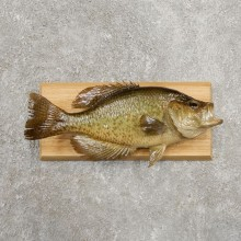 Black Crappie Taxidermy Fish Mount #20935 For Sale @ The Taxidermy Store