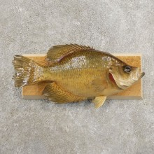 Black Crappie Taxidermy Fish Mount #20978 For Sale @ The Taxidermy Store