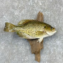 Black Crappie Taxidermy Fish Mount #23607 For Sale @ The Taxidermy Store