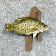 Black Crappie Taxidermy Fish Mount #23608 For Sale @ The Taxidermy Store