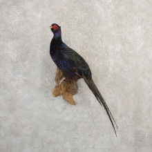 Black Pheasant Bird Mount For Sale #20796 @ The Taxidermy Store