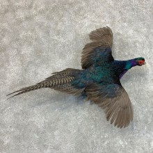 Black Pheasant Bird Mount For Sale #22811 @ The Taxidermy Store