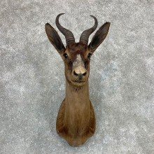 Black Springbok Shoulder Mount For Sale #23399 @ The Taxidermy Store
