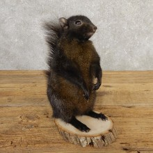 Black Squirrel Life-Size Mount For Sale #20741 @ The Taxidermy Store