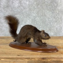 Black Squirrel Life-Size Mount For Sale #21313 @ The Taxidermy Store