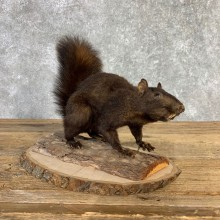 Black Squirrel Life-Size Mount For Sale #21847 @ The Taxidermy Store