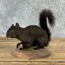 Black Squirrel Life-Size Mount For Sale #22926 @ The Taxidermy Store