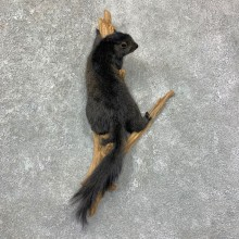 Black Squirrel Life-Size Mount For Sale #22955 @ The Taxidermy Store