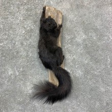 Grey Squirrel Life-Size Mount For Sale #22956 @ The Taxidermy Store