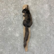 Grey Squirrel Life-Size Mount For Sale #22957 @ The Taxidermy Store