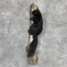 Black Squirrel Life-Size Mount For Sale #23023 @ The Taxidermy Store