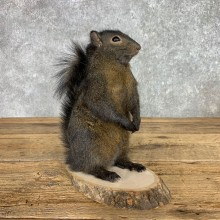 Black Squirrel Life-Size Mount For Sale #23452 @ The Taxidermy Store