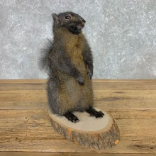 Black Squirrel Life-Size Mount For Sale #23453 @ The Taxidermy Store