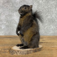 Black Squirrel Life-Size Mount For Sale #23454 @ The Taxidermy Store