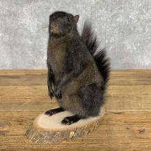 Black Squirrel Life-Size Mount For Sale #23455 @ The Taxidermy Store