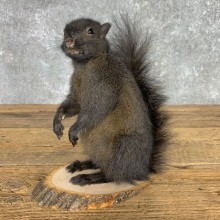 Black Squirrel Life-Size Mount For Sale #23456 @ The Taxidermy Store
