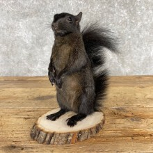 Black Squirrel Life-Size Taxidermy Mount For Sale