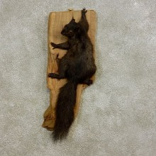 Black Squirrel Life-Size Mount For Sale #17233 @ The Taxidermy Store