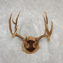 Black Tail Deer Taxidermy Antler Plaque #19109 For Sale @ The Taxidermy Store
