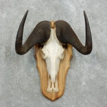 Black Wildebeest Skull European Mount For Sale #18338 @ The Taxidermy Store