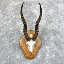 Blackbuck Skull & Horn European Mount For Sale #23574 @ The Taxidermy Store