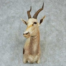 African Blesbok Shoulder Taxidermy Mount #13226 For Sale @ The Taxidermy Store