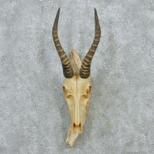 African Blesbok Skull & Horns Taxidermy Mount #12881 For Sale @ The Taxidermy Store