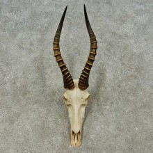 Blesbok Skull & Horn European Mount For Sale #16199 @ The Taxidermy Store