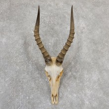 Blesbok Skull Horn European Mount For Sale #19322 @ The Taxidermy Store